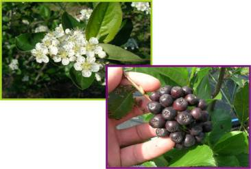 Aronia_flowers and fruit
